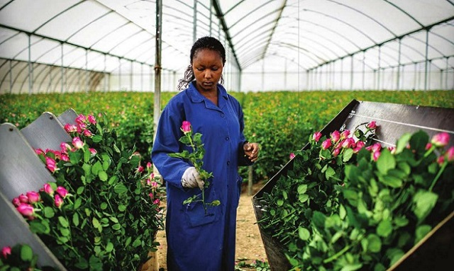 An employee harvesting flowers in one of the flower farms in Kenya. The East African nation could soon face high taxes on the European market after EAC failed to sign EPA with EU.